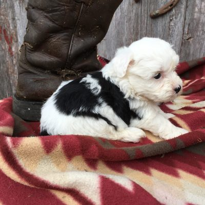 Bailey - Sheepadoodle puppy in Lamoni, Iowa for sale
