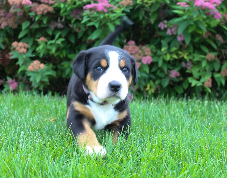 Ashley - AKC Greater Swiss Mountain Dog for sale [Fort, Wayne, Indiana]