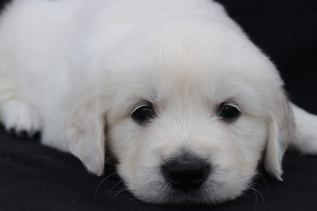 BOY PUPPY: English Golden Retriever puppy for sale (North Manchester, Indiana)