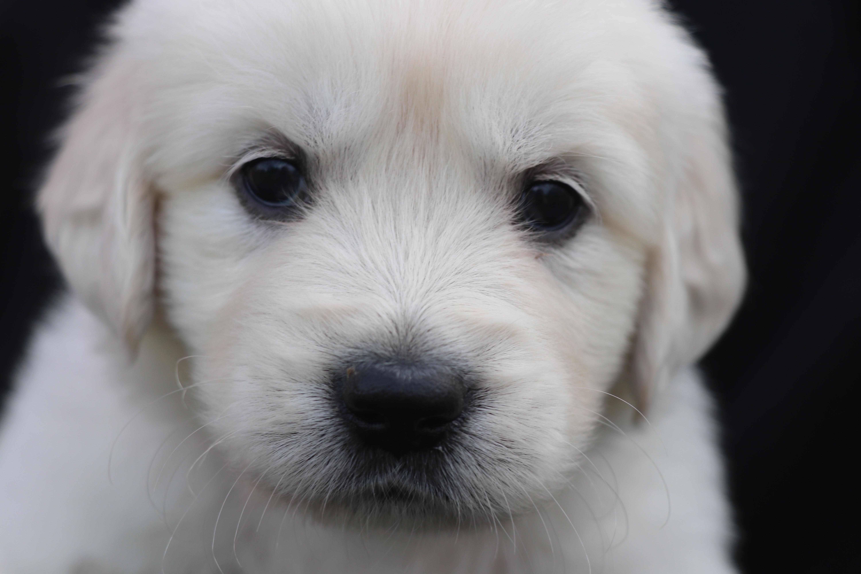 Rosie: AKC Golden Retriever puppy (North Manchester, Indiana)