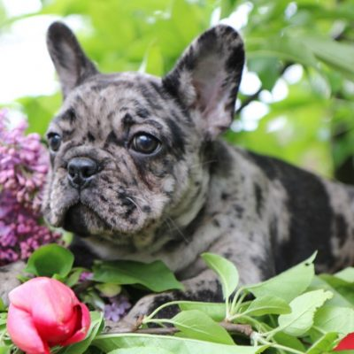 French bulldog puppy for sale [Stamford, Connecticut]