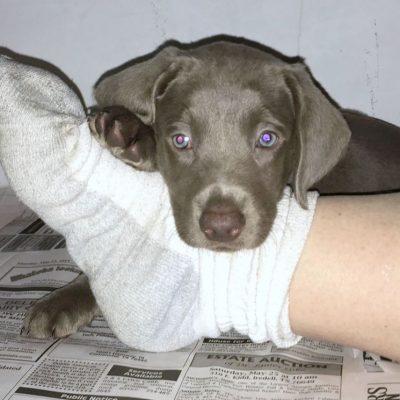 Silver Female Puppy Labrador Retriever for sale in Dublin, Texas