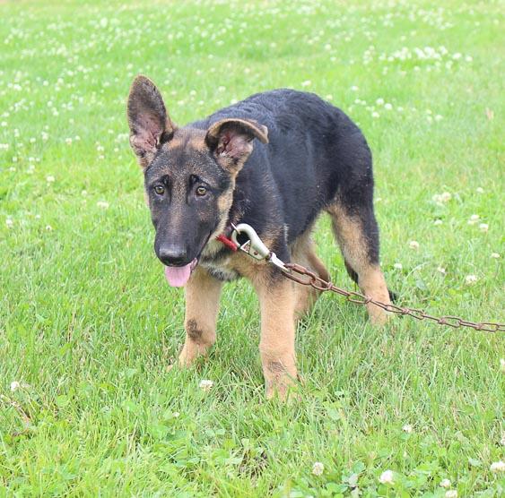 Beth: an AKC German Shepherd puppy for sale in Millersburg, IN