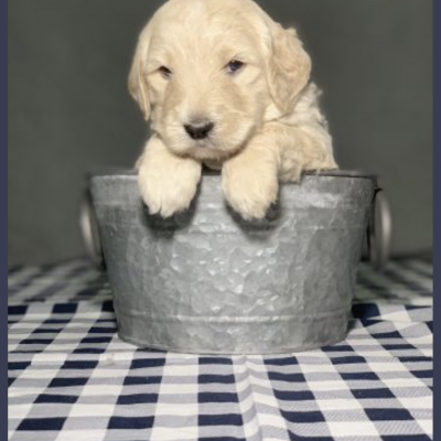 F2B Male (Black) - Glasgow, Kentucky Goldendoodle puppies for sale
