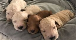 F1B Female (Yellow) - Goldendoodle puppy [Glasgow, Kentucky] for sale