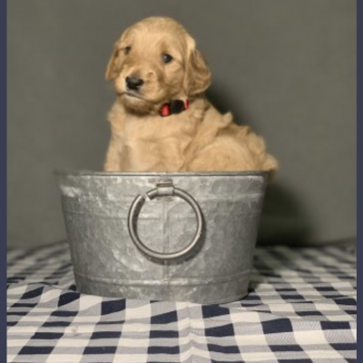 F2B Male (Red) - Goldendoodle puppies in Glasgow, Kentucky