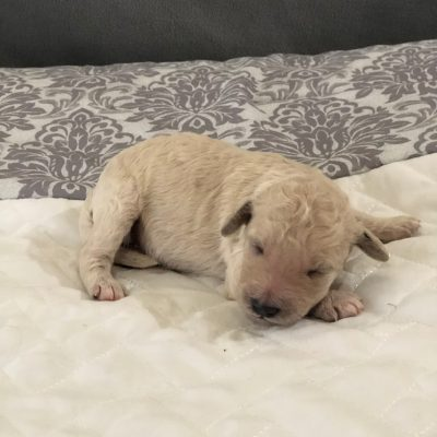 F1B Female (Teal) - Kentucky Goldendoodle puppies for sale