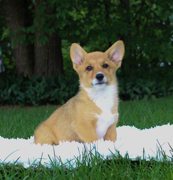 Marley: DM Free Female AKC Welsh Corgi puppy [Indiana] for sale