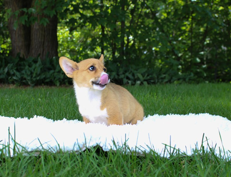 Meika:DM Free Female [AKC Corgi puppy] for sale in Woodburn, Indiana