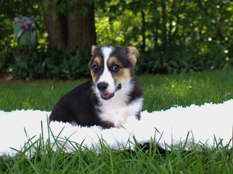 Maddox: DM Free Male Pembroke Welsh Corgi puppy for sale [Woodburn, IN]