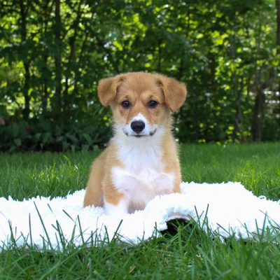 Macy:DM Free Female AKC Pembroke Welsh Corgi for sale [Woodburn, IN]