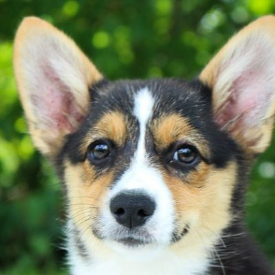 Makenna -DM Free Female Pembroke Welsh Corgi puppy for sale [Woodburn, IN]