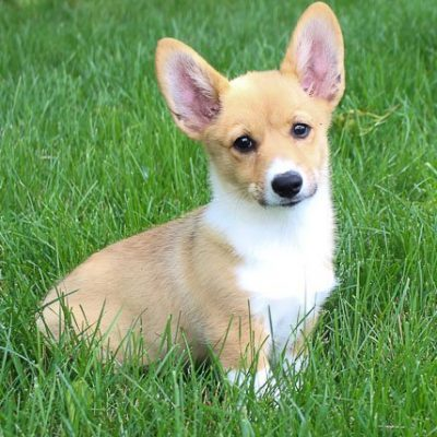 Meika:DM Free Female [AKC Corgi puppy] for sale in Woodburn, Indiana