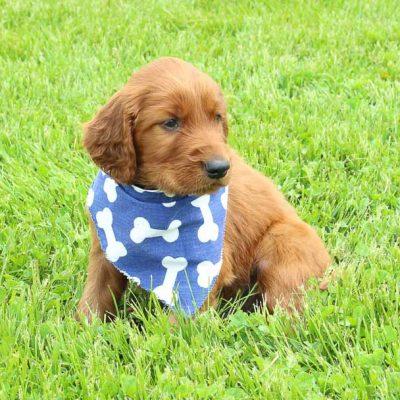 Reno: AKC Male Irish Setter puppy for sale [Shipshewana, IN]