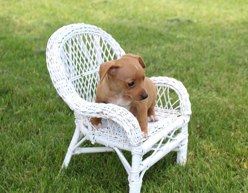 Sandy: Miniature Pinscher puppy for sale [Woodburn, Indiana]