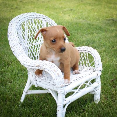 Sandy: Miniature Pinscher puppy for sale [Woodburn, Indiana]