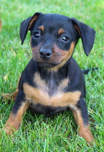 Sophie: Miniature Pinscher puppy [Woodburn, Indiana]