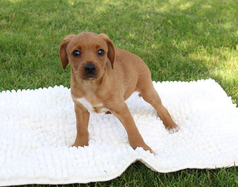 Siarra: Miniature Pinscher puppy in Woodburn, Indiana for sale