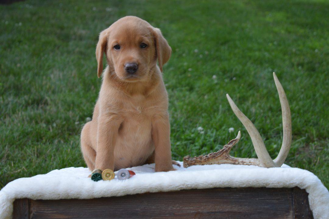 Oakley - Female Labrador Retriever for sale in Narvon, Pennsylvania