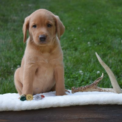Oakley - Female Labrador Retriever for sale in Narvon, Pennsylvania