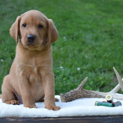 Copper - Male Labrador Retriever for sale in Narvon, Pennsylvania