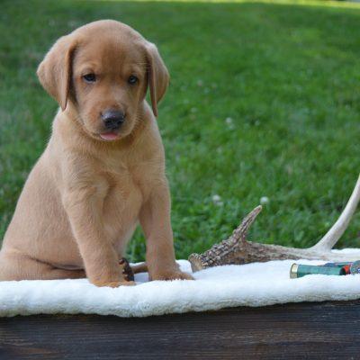 Phoenix - Labrador Retriever puppy in Narvon, Pennsylvania