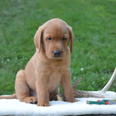 Ruger - AKC Male Labrador Retriever puppy for sale in Pennsylvania