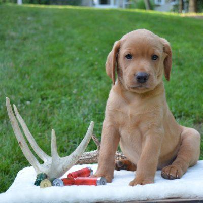 Remington - Lab puppy for sale in Narvon, Pennsylvania