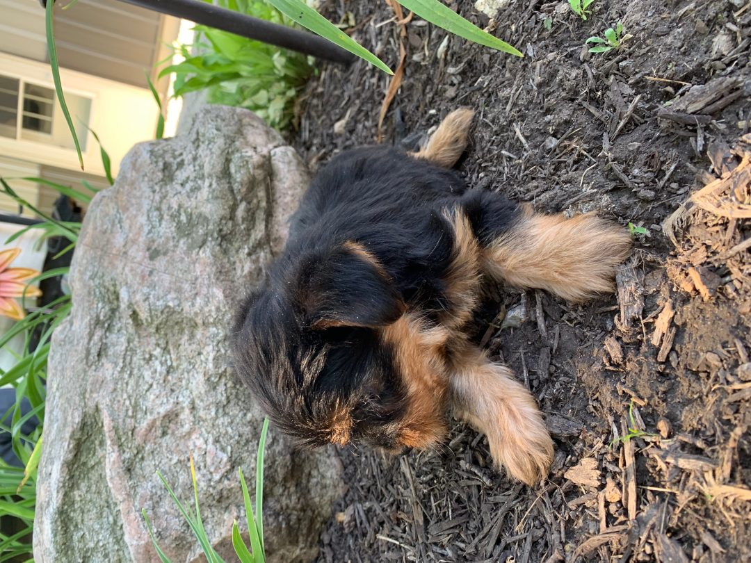 Frank: AKC Yorkie puppy for sale in Tuscola, Illinois