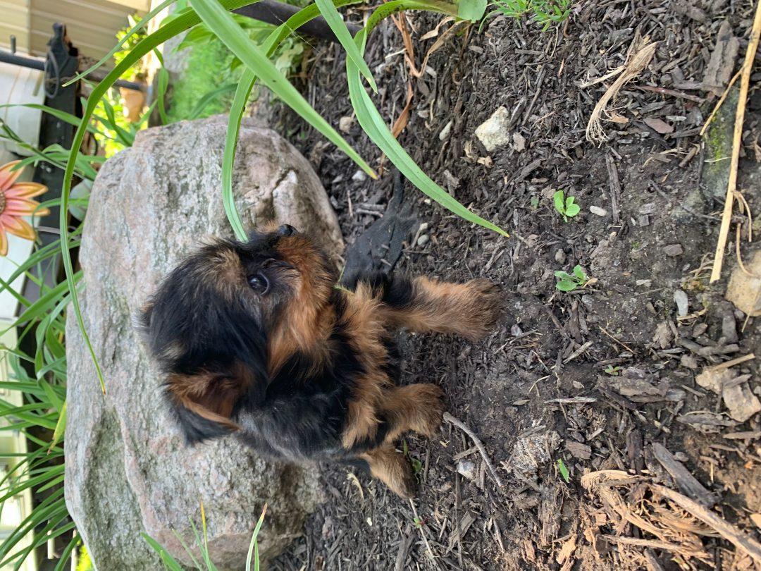 Missy - AKC Yorkshire Terrier puppy for sale [Tuscola, Illinois]