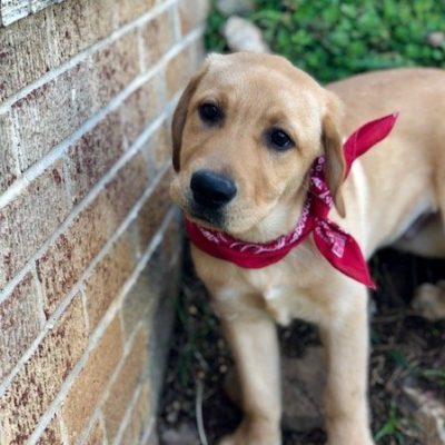 Wrangler: a male English Lab pup for sale in Brogue, PA