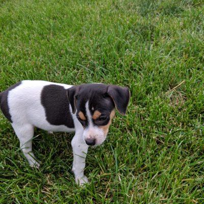 Driver - Rat Terrier pup in Goshen, Indiana for sale