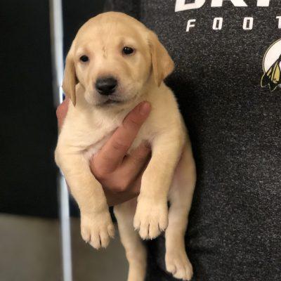 Green Male - Labrador Retriever pups for sale in Lumberton, North Carolina