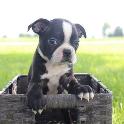 Bailey: Male AKC Boston Terrier puppy for sale (Shipshewana, Indiana)