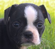 Bonnie: girl AKC Boston Terrier puppy for sale (Shipshewana, Indiana)