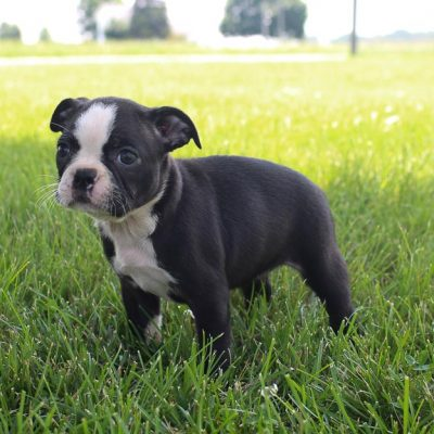 Brenda: AKC Female Boston Terrier puppy for sale in Shipshewana, Indiana