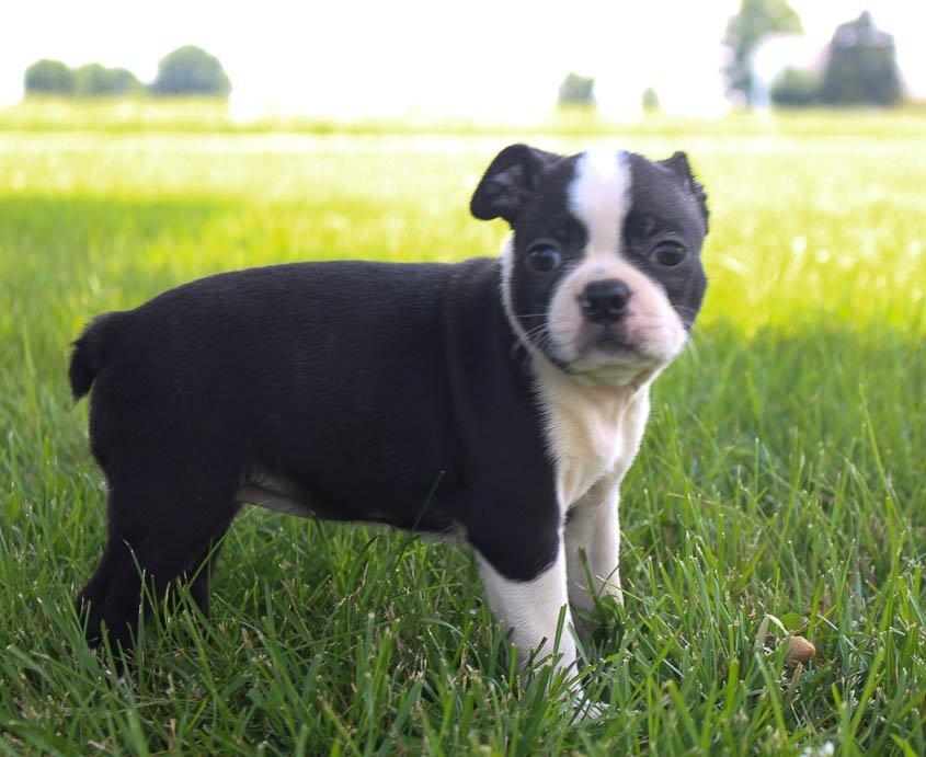 Broxie: Female AKC Boston Terrier [Shipshewana, Indiana]