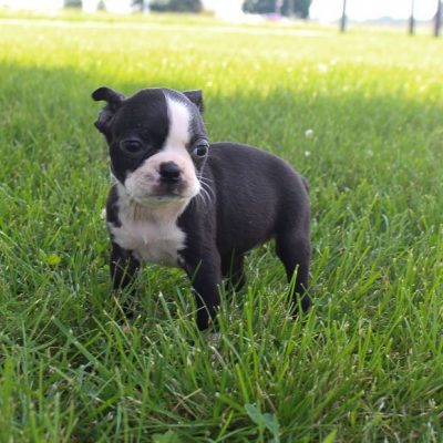 Bree - AKC Girl Boston Terrier puppy in Shipshewana, Indiana for sale