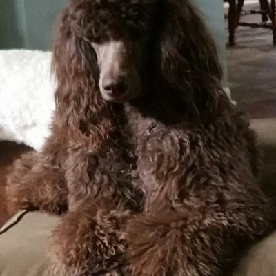 Little girl #3: AKC Poodle puppy for sale (Sequatchie, Tennessee)