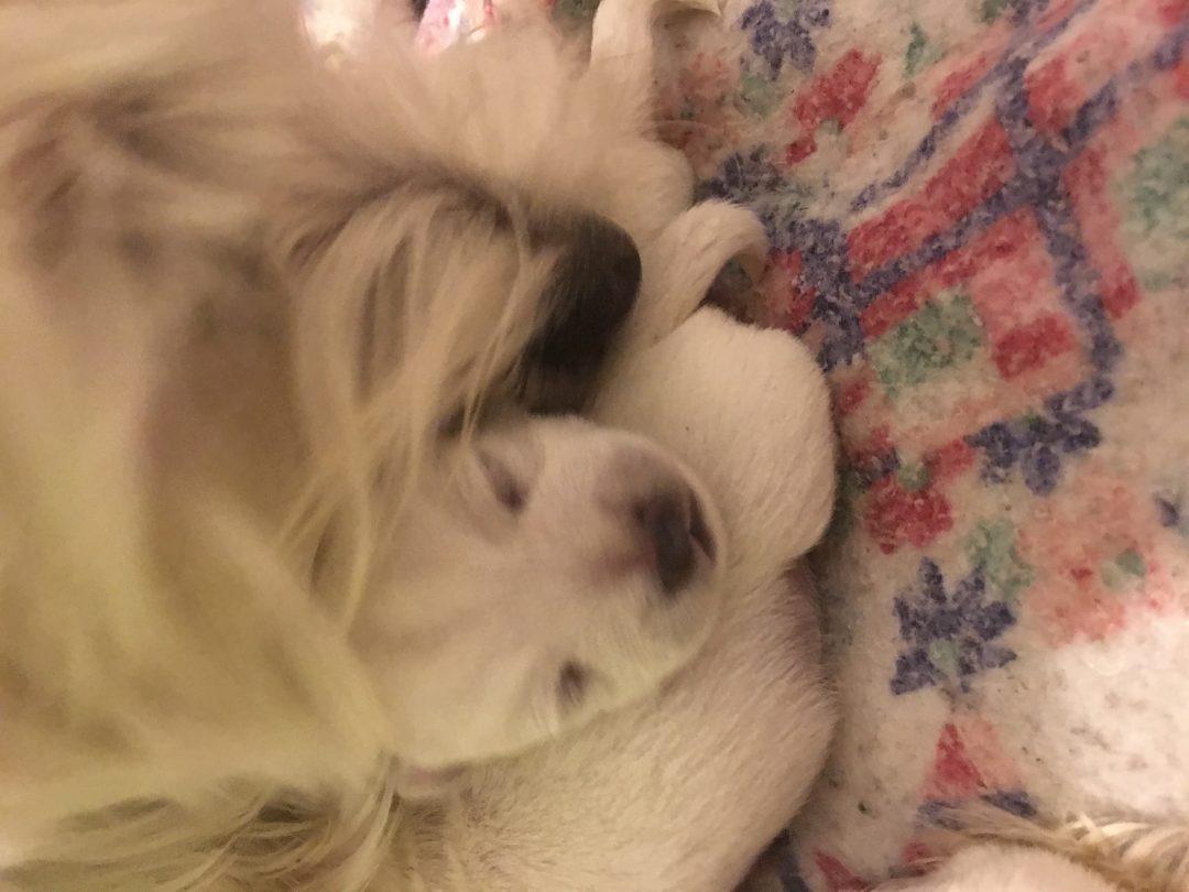 Ben: AKC West Highland White Terrier puppy for sale (Loveland, Colorado)