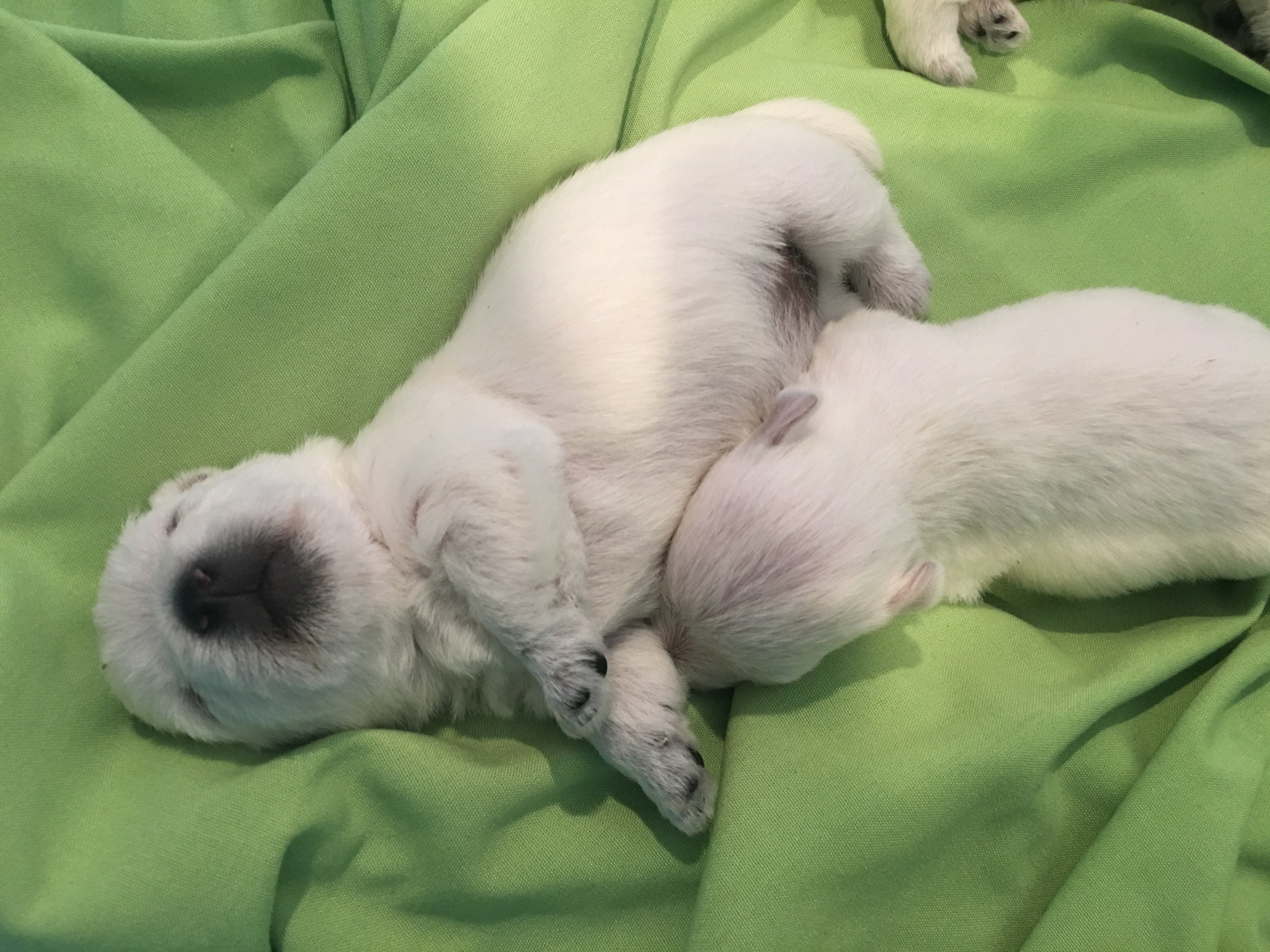 Ben: AKC West Highland White Terrier puppy for sale (Loveland, Colorado) |  VIP Puppies