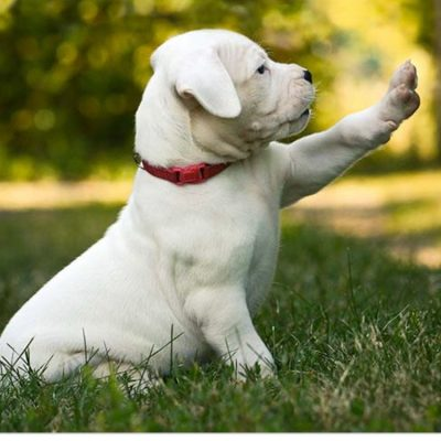 Dogs Puppies - Dogo Argentino puppies for sale in Jacksonville, Florida