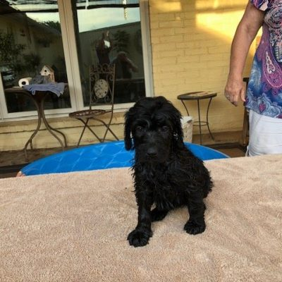 Puppy 2 - Labradoodle puppy for sale in Magnolia, Texas