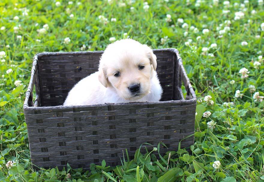 Tori: Girl Golden Retriever puppy for sale in St Joe, Indiana