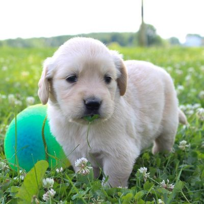 Tracy: Girl Golden Retriever puppy (St Joe, Indiana) for sale