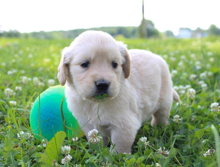 Tracy Girl Golden Retriever Puppy St Joe Indiana For Sale Vip