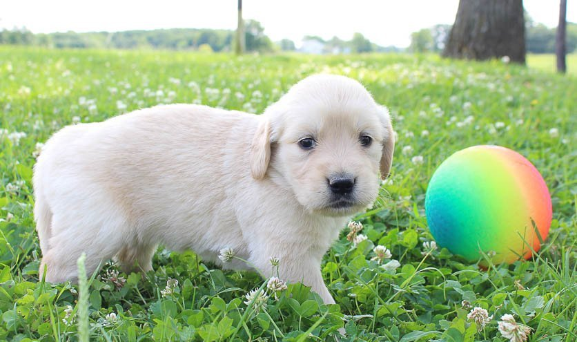 Tracy: Girl Golden Retriever puppy (St Joe, Indiana) for sale | VIP Puppies