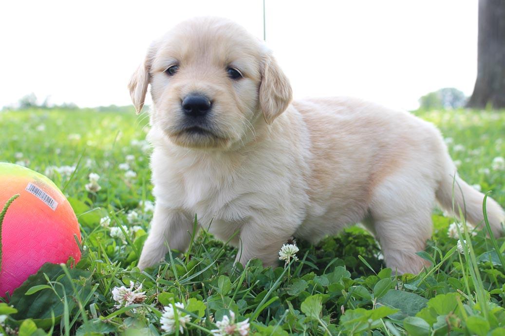 Tanisha: Girl Golden Retriever pupper for sale (St Joe, Indiana)