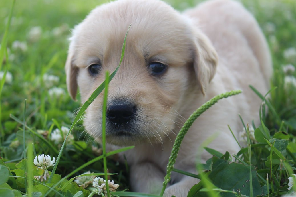 Taylor: Male Golden Retriever puppy for sale (St Joe, Indiana)