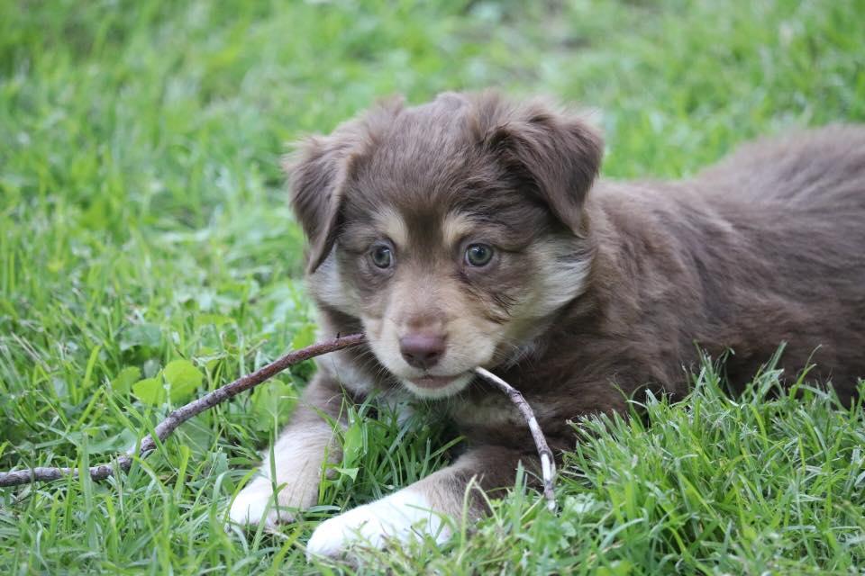 Red Tri Female: Mini Australian Shepherd puppy (Owensboro, Kentucky)